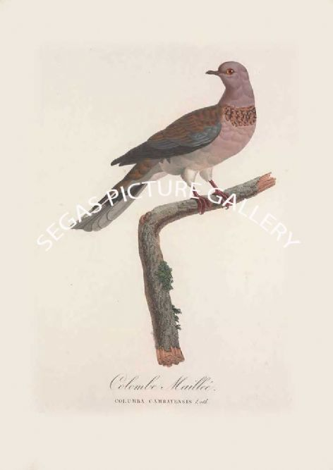 Fine art print of the Colombe Maillée by the artist Pauline de Courcelles Knip (1838)
